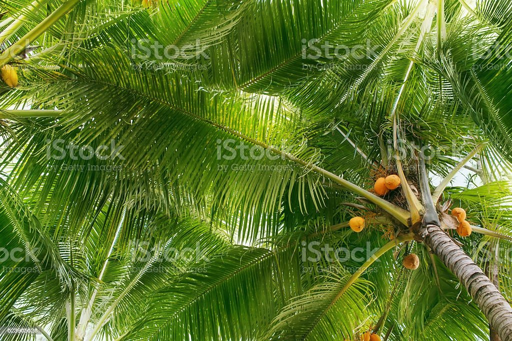 Coconut palm trees with green leaves and young coconuts, background,...