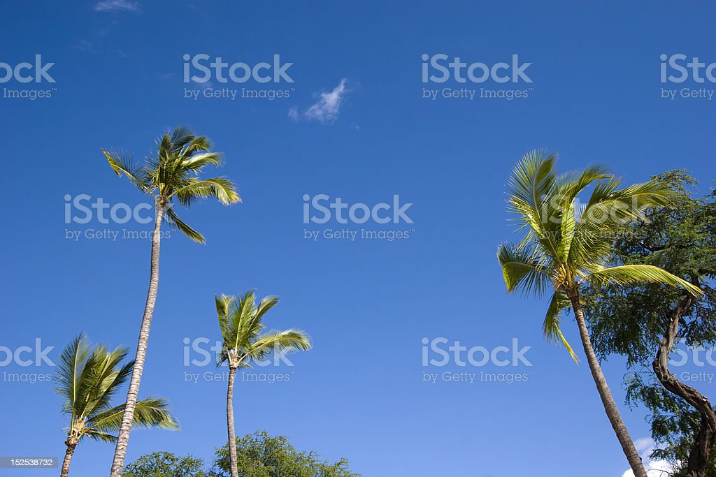 Coconut Palms and Blue Sky stock photo