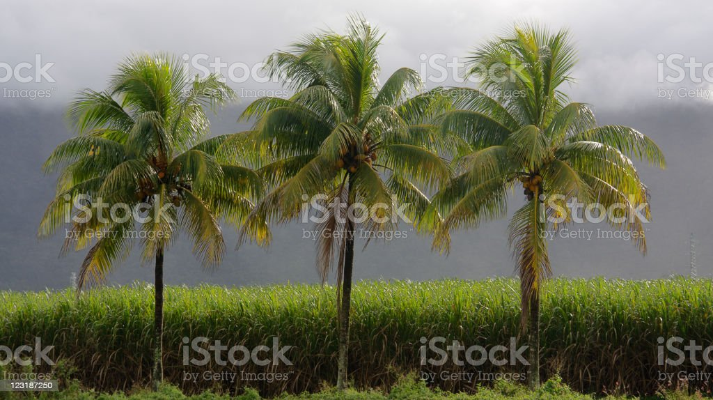 Coconut Palms and Sugar Cane royalty-free stock photo