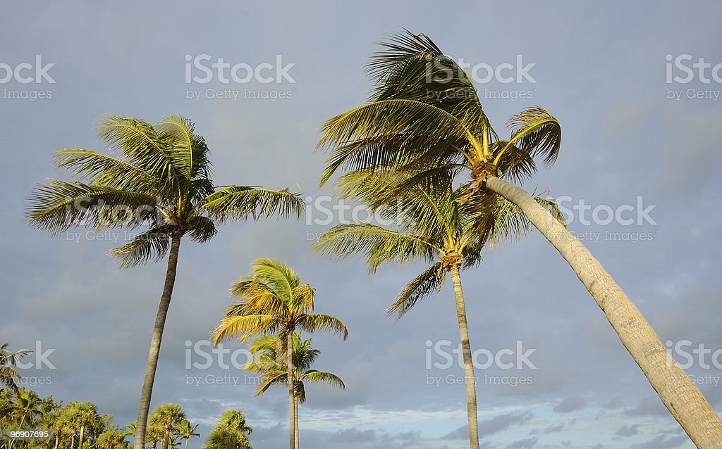 Coconut Palms in Windy Weather royalty-free stock photo