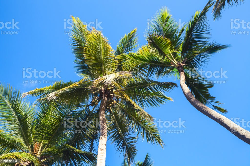 Coconut palms on wind under blue sky background royalty-free 스톡 사진