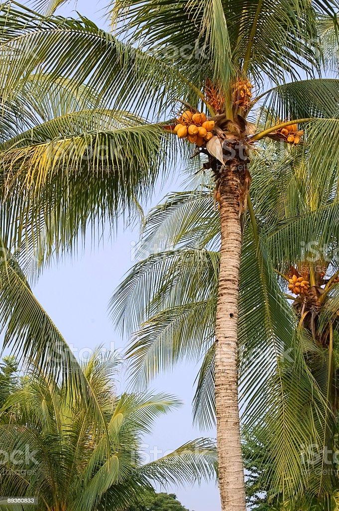 Coconut palms royaltyfri bildbanksbilder