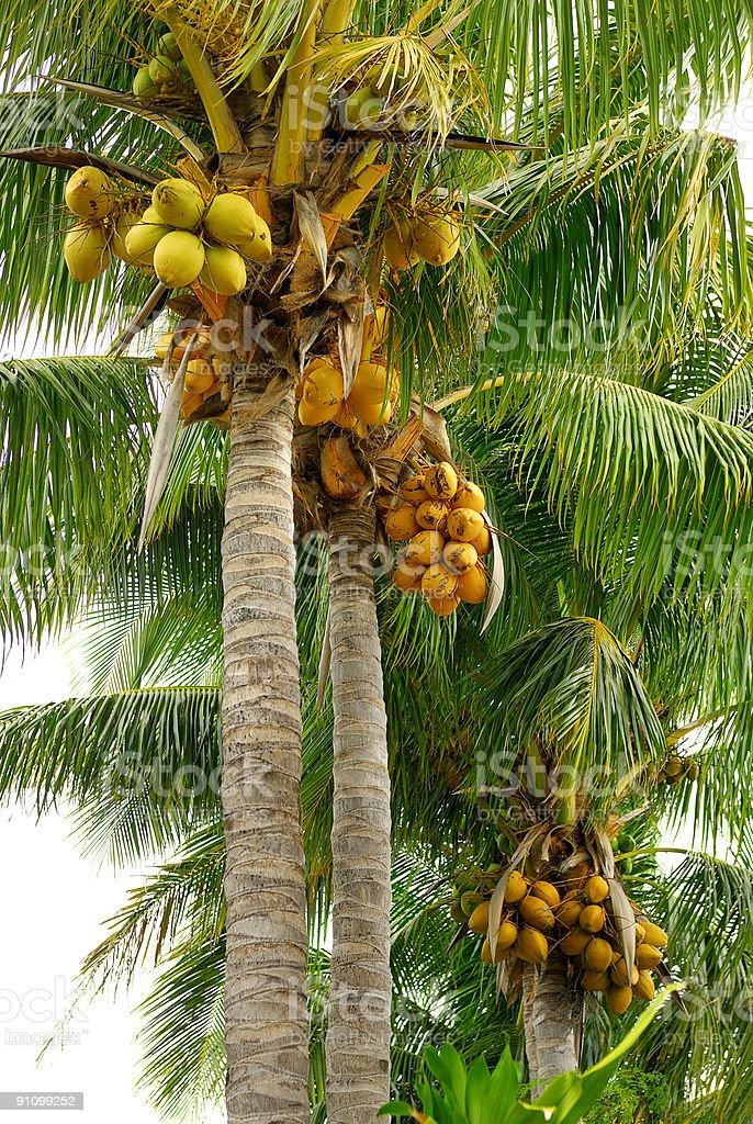 coconut palms royalty-free stock photo