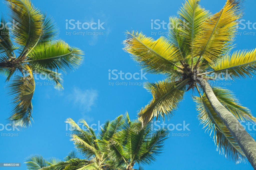 Coconut palms under blue sky background royalty-free 스톡 사진