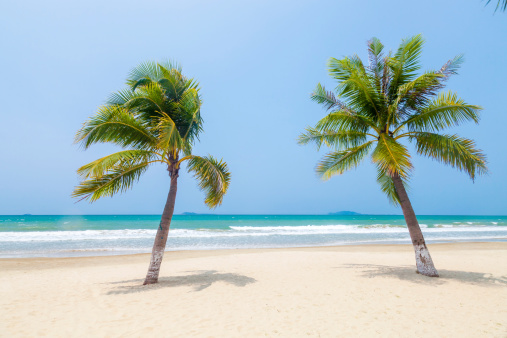 coconut plam trees