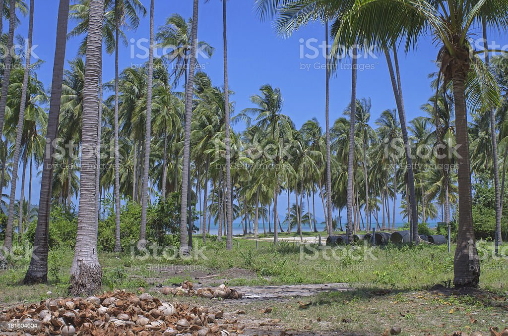Coconut plantation and stack shell with blue sky royalty-free stock photo