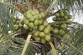 conde, bahia / brazil - july 17, 2013: Coconut plantation on farm in the city of Conde. The fruit is used to extract water and vegetable oil.