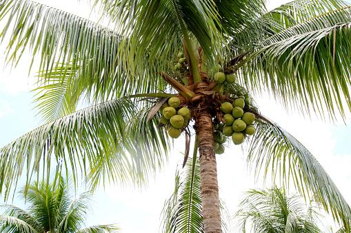 conde, bahia / brazil - september 26, 2020: coconut plantation in the city of Conde, north coast of Bahia.