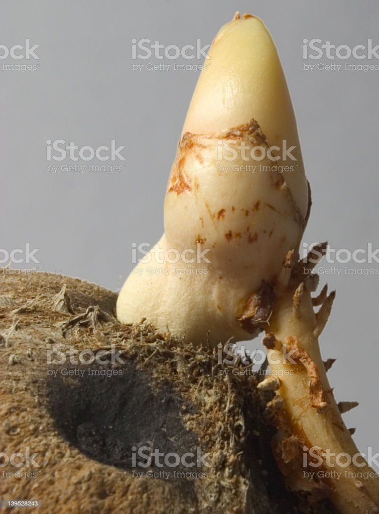 Coconut Sprout royalty-free stock photo
