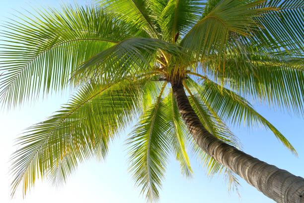 Coconut tree and blue sky stock photo