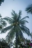 Coconut Tree at Dusk