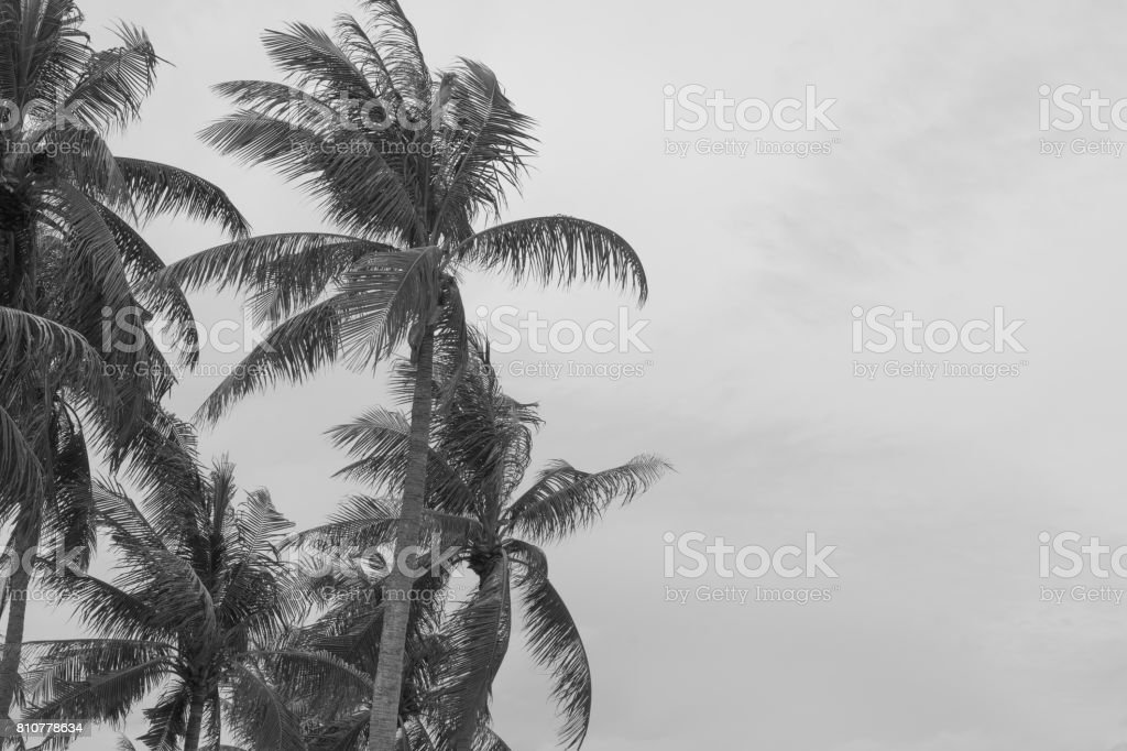 coconut tree beach strom monsoon windy