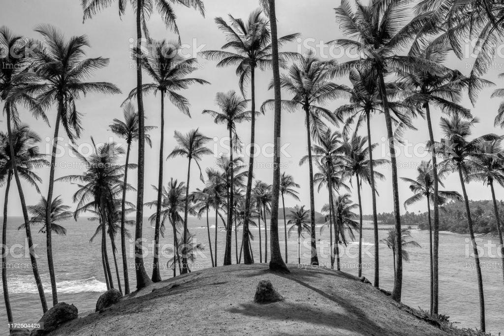 Coconut Tree Hill Coconut trees at the seaside near Mirissa in Sri Lanka. Asia Stock Photo