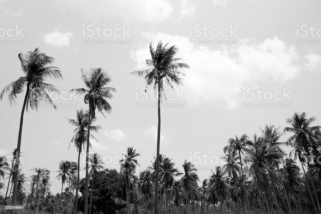 Coconut tree in black and white background royalty-free stock photo