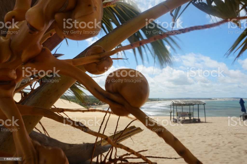 Coconut tree in genipabu beach. Day of summer
