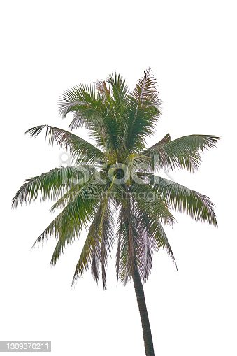 coconut tree isolate on white background for use to montage on product