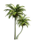 Coconut tree isolated on white,3d rendering