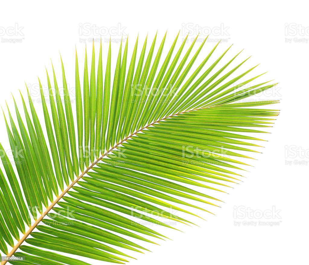 Coconut Tree Leaf stock photo | iStock