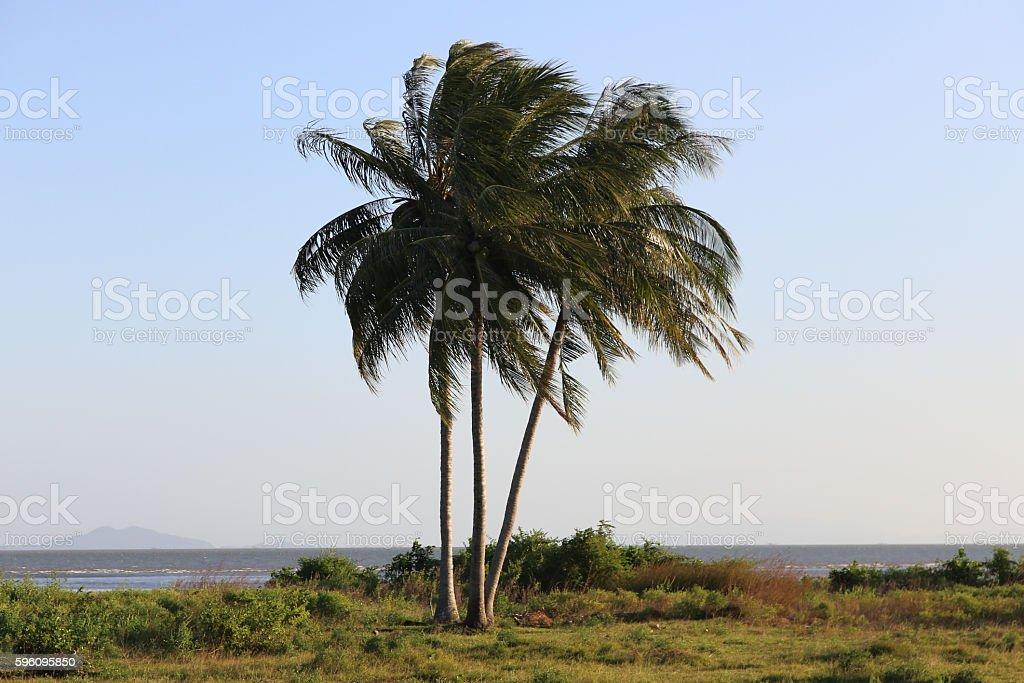 Coconut Tree on the beach royalty-free stock photo