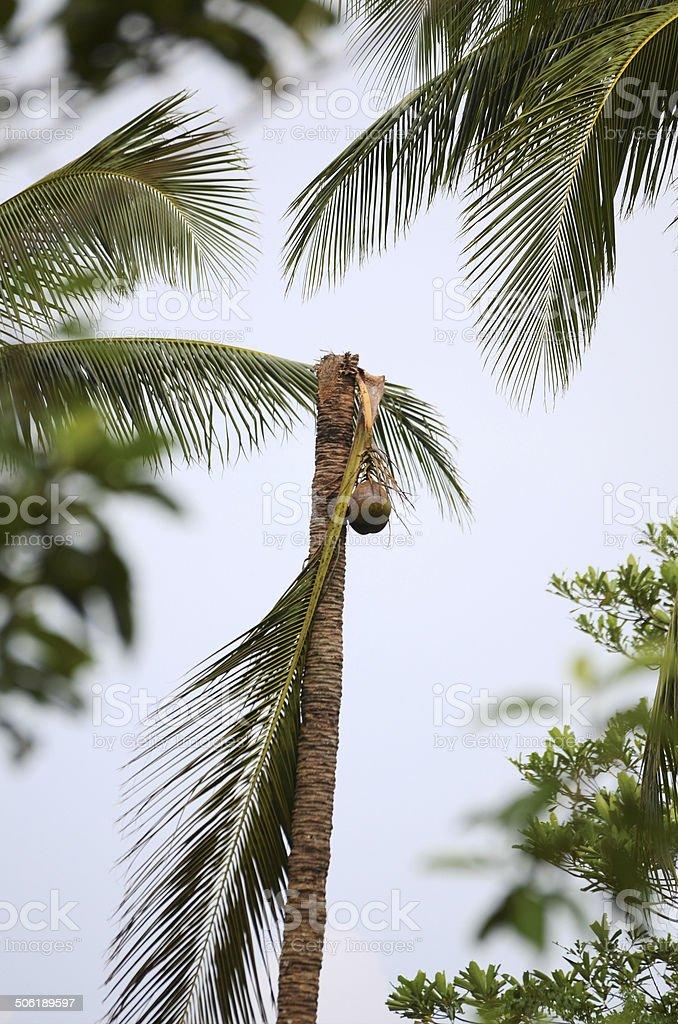 Coconut Tree Palm stock photo