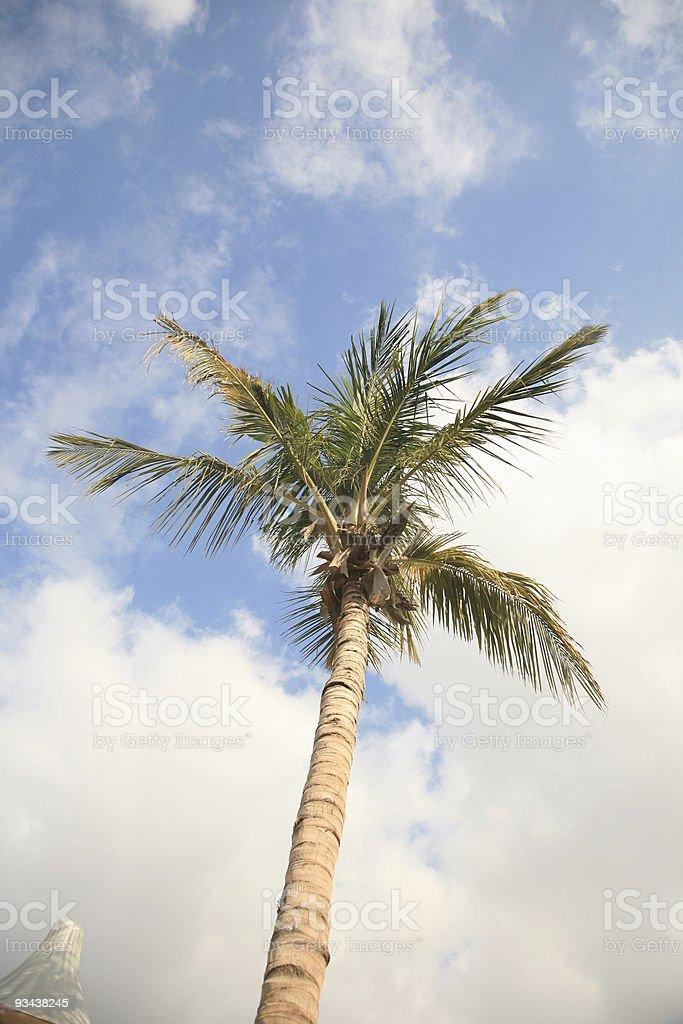 Kokospalme Lizenzfreies stock-foto
