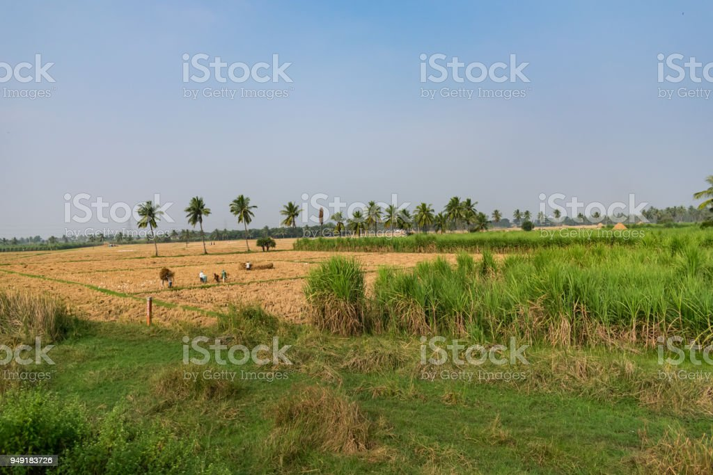 Coconut tree plantation nearer to paddy field looking awesome at sunny day. stock photo