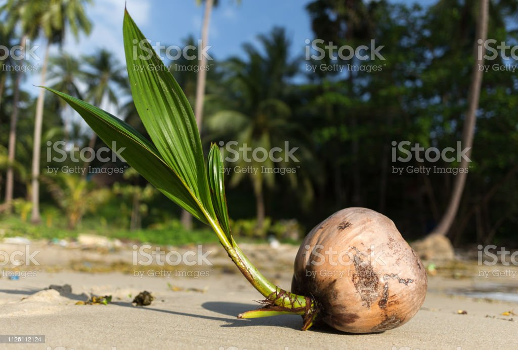 Coconut tree sprout washes up on the shore of a tropical beach in Koh...