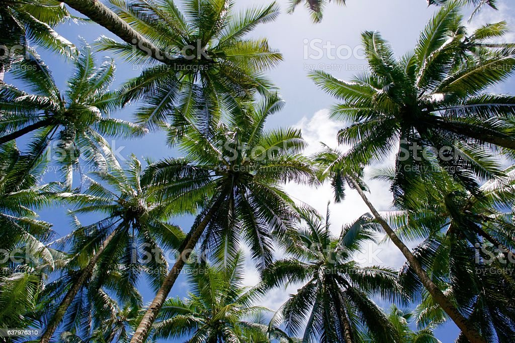 Coconut tree tops and blue sky stock photo