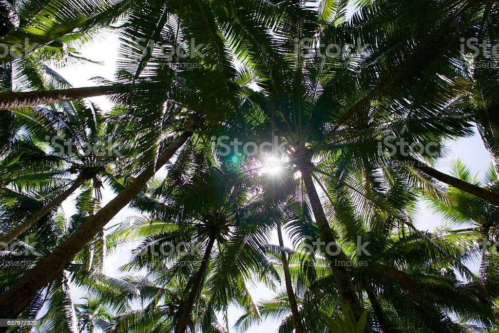 Coconut tree tops and sun light stock photo