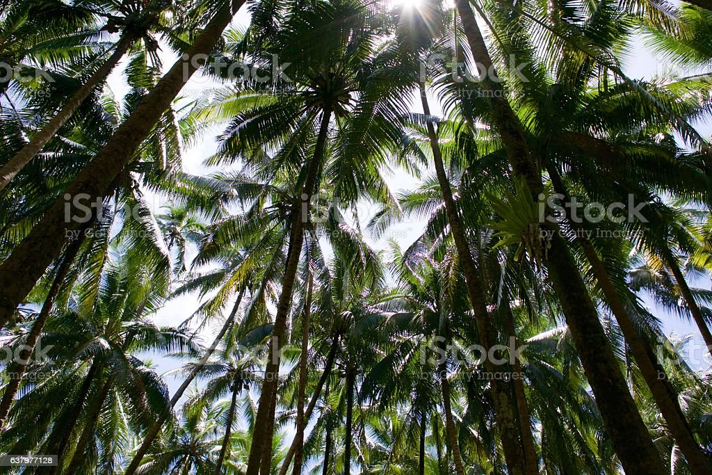 Coconut tree tops and sun stock photo