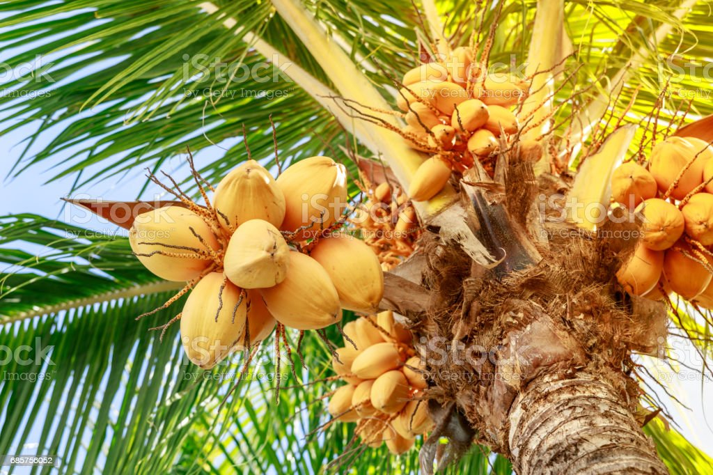 Kokosnoot boom met gele vruchten opknoping stelletje royalty free stockfoto
