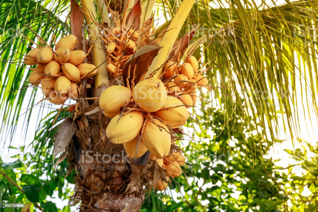 Coconut tree with bunch of yellow fruits hanging zbiór zdjęć royalty-free