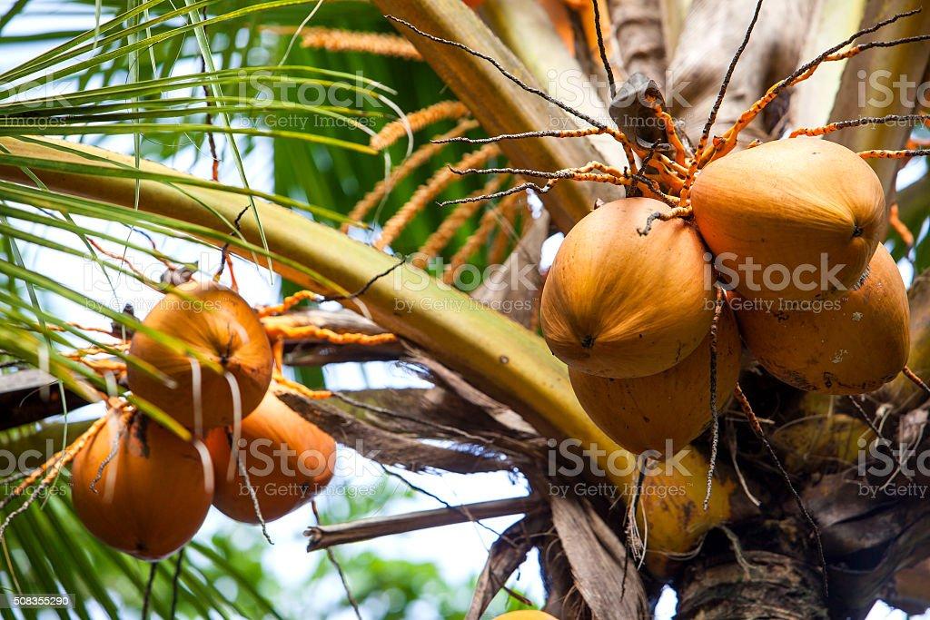 Coconut tree with coconut fruit stock photo