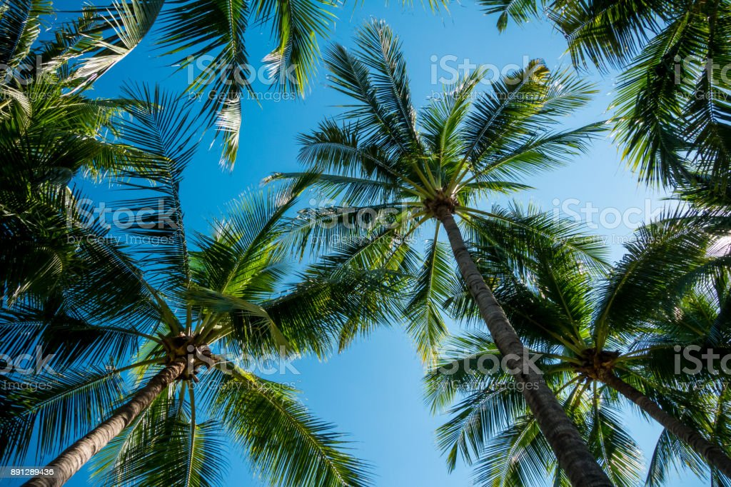 Coconut tree with sky background stock photo
