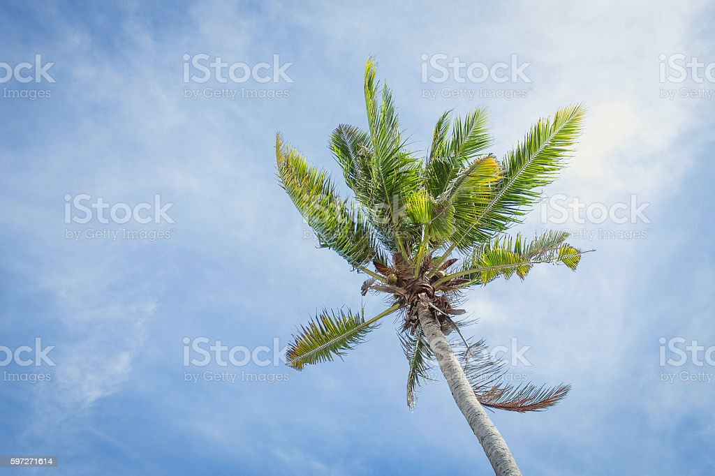 Coconut trees against the sky royalty-free stock photo