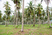 Coconut trees are planted in a full garden