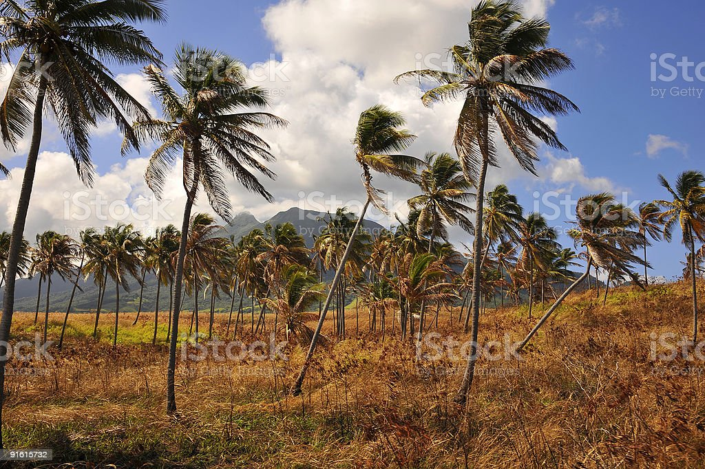 Coconut trees at St Kitts & Nevis royalty-free stock photo