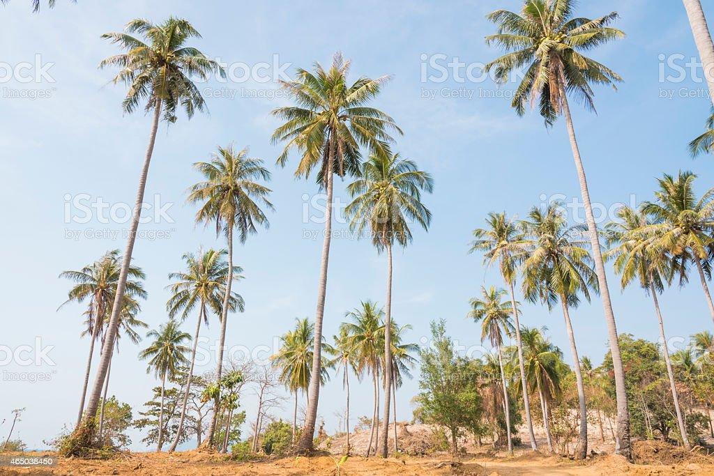 Coconut trees on the beach, Cambodia.