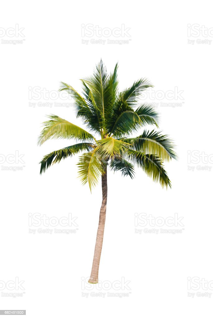 Coconut trees on white background royalty-free stock photo