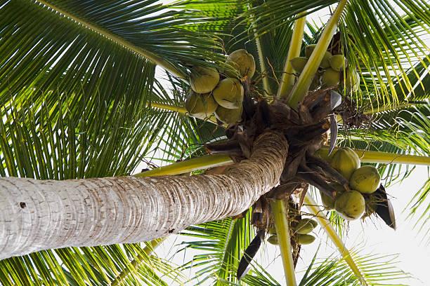 Kokosnüsse und Baum – Foto