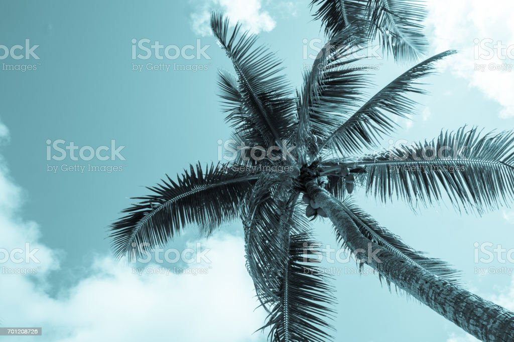 Coconuts hang above from palm trees and fronds sway in breeze above in retro effect image stock photo