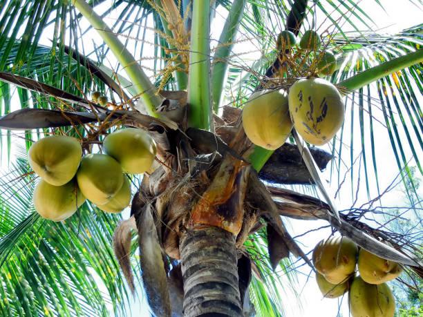 Coconuts in Palm Tree, Nassau Bahamas stock photo