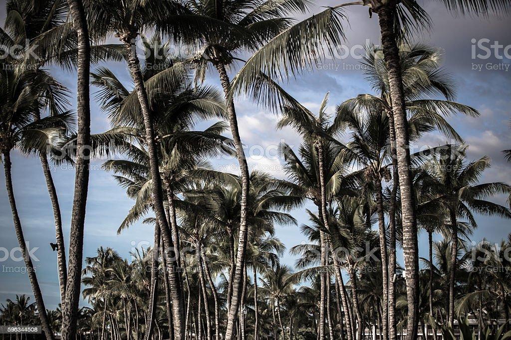 Coconuts in palm trees Hawaii Lizenzfreies stock-foto