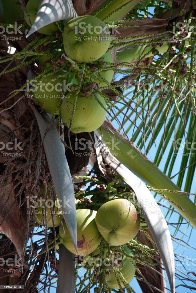 Noix de coco au soleil - Photo de Aliment libre de droits