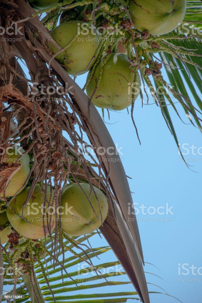 Kokosnüsse auf dem Hintergrund eines blauen Himmels - Lizenzfrei Ast - Pflanzenbestandteil Stock-Foto