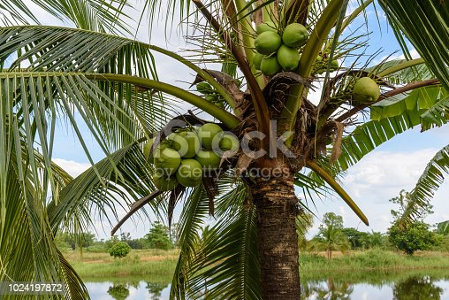Coconuts on a coconut tree. A coconut contains large quantity of potable water or juice, when mature they can be processed to give oil from kernel, charcoal from the hard shell, coir from fibrous husk