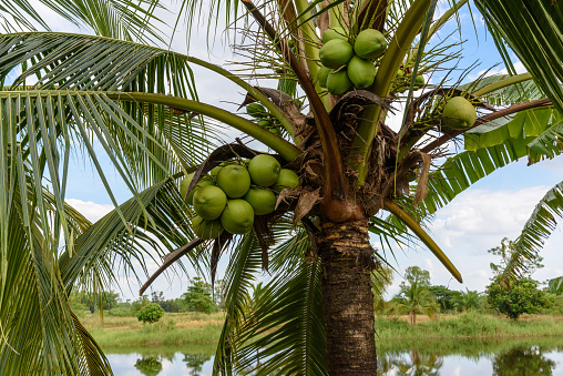 istock Coconuts on a coconut tree. A coconut contains large quantity of potable water or juice, when mature they can be processed to give oil from kernel, charcoal from the hard shell, coir from fibrous husk 1024197872