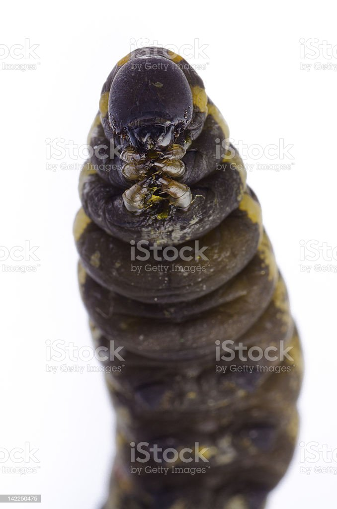 cocoon caterpillar royalty-free stock photo