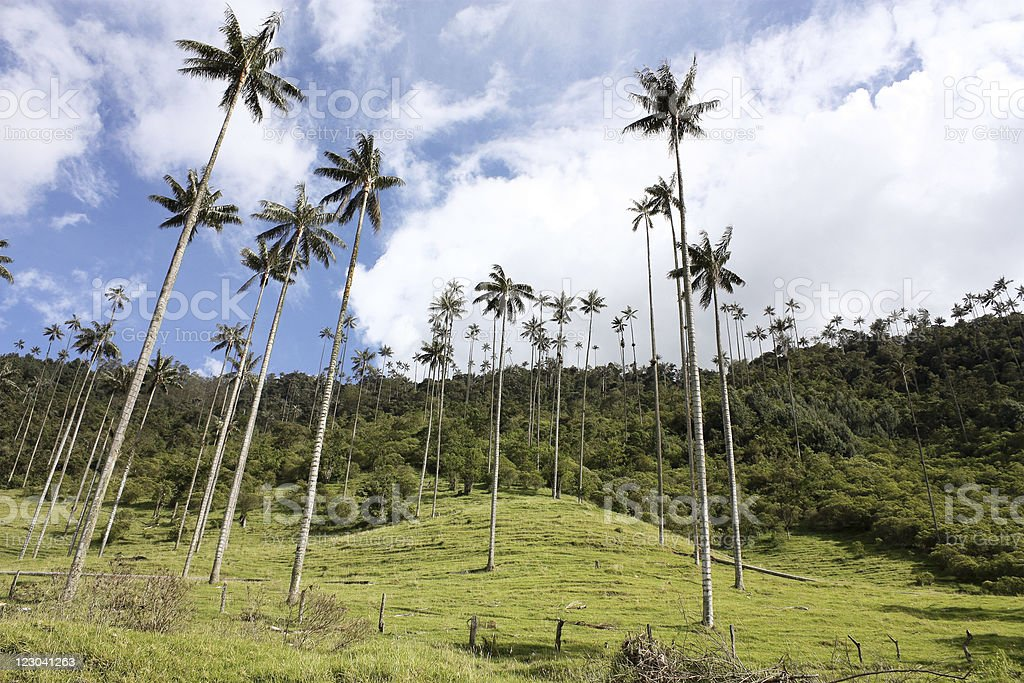 Cocora walley and wax palm stock photo