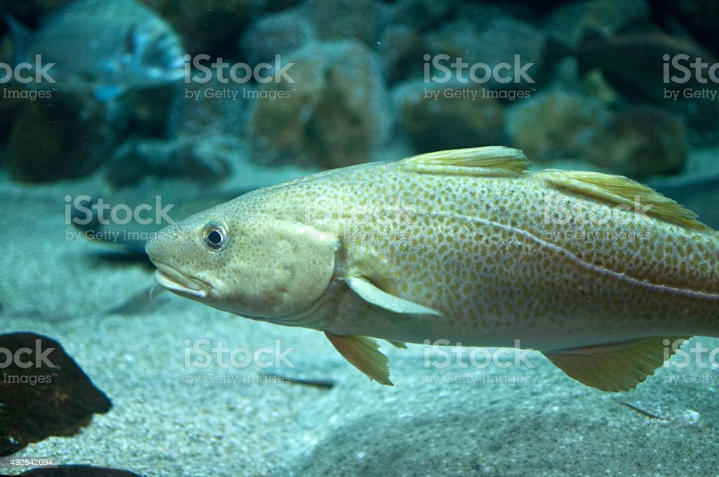 Cod fish floating in aquarium stock photo